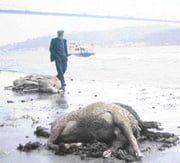 ilginc - koyun - İstanbul Boğazında Boğulan Koyunlar