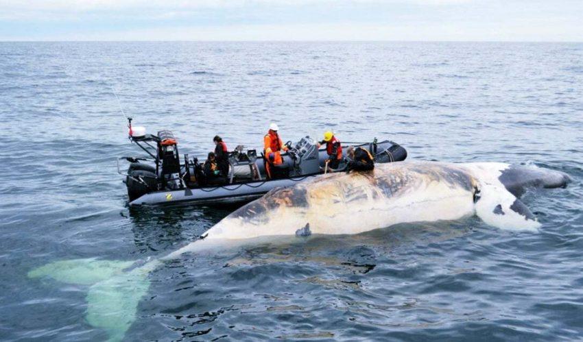 Kanada Deniz Hız Limiti Balina Koruma