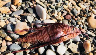 deniz-kultur - Aslan Balıkları 335x195 - Gökovada Aslan Balığı Tehlikesi