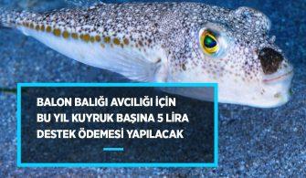 Balon balığı teşvik 2020
